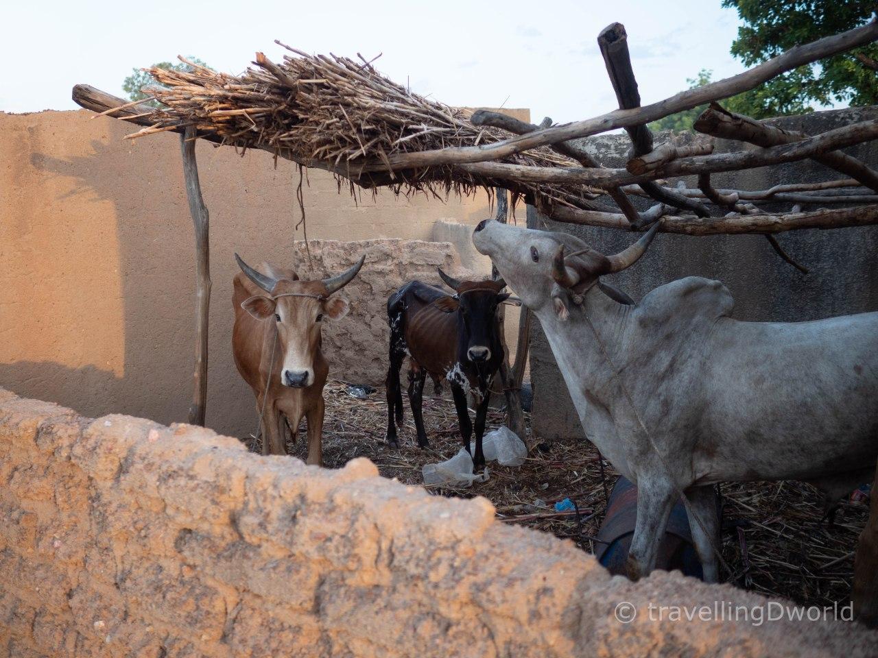 vacas en Burkina Faso