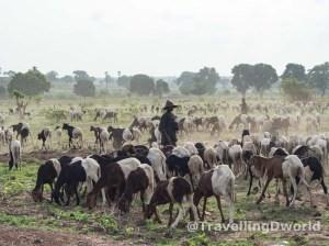 Chico Fulani controlando el ganado en Nigeria