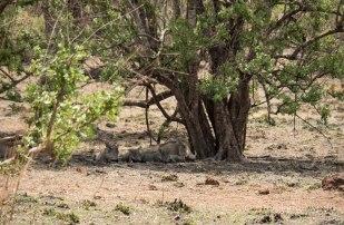 Facóqueros en la Pendjari National Park, Benín