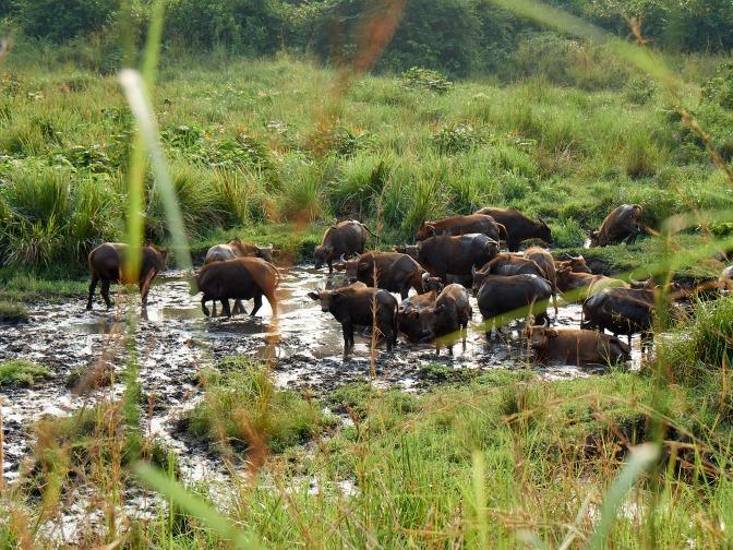 Búfalos en La Lopé, Gabón