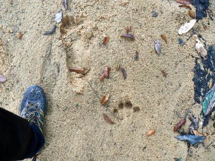 pisadas de gorila en la Lopé, Gabón