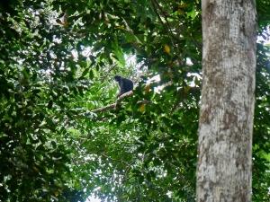 mono en La Lopé, Gabón